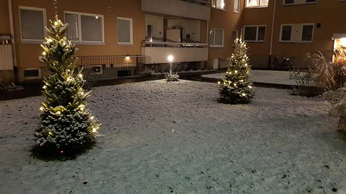 Julgranar på gården